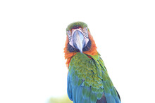 Portrait Of A Colorful Macaw I...