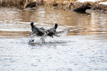 A Picture Of Two American Coots Fighting Each Other.   Vancouver BC Canada