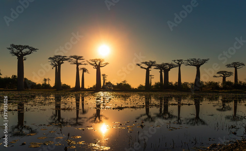 Obraz na plátně Beautiful Baobab trees at sunset at the avenue of the baobabs in Madagascar