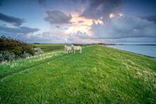 Sheep Standing On The Grass Ne...