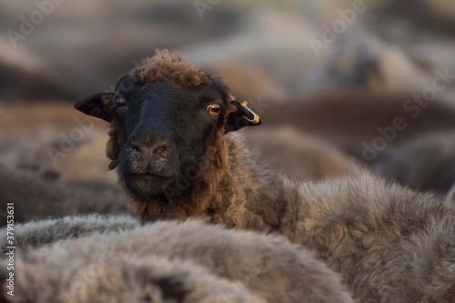 Fotografiet A portrait of a black sheep