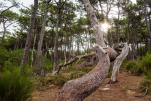 Twisted Trunk Of Pines Tree