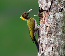 Greater Yellownape, Yellow-naped Woodpecker, Picus Flavinucha, Bird Of Thailand, Feeding Its Chicks On Clear Green Background