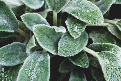 Fresh green sage leaves texture for background. Canvas Print