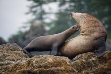 Steller Sea Lions Fighting, Alaska