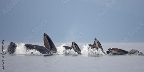 Valokuva Feeding Humpback Whales, Alaska