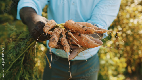 Close up, african man holding in hands homegrown harvest of fresh orange carrots. High quality photo