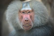 Papio Hamadryas Or The Baboon ...