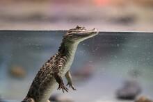 Group Of Crocodiles. Crocodile...