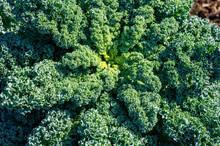 Organic Green Leaf Curly Kale ...