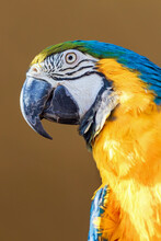 Portrait Of A Blue Yellow Maca...
