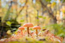 Boletus Edulis Edible Mushroom...