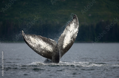 Photo Tail Slapping Humpback Whale, Alaska