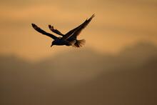 Mew Gulls, Glacier Bay National Park, Alaska