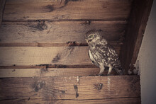 Little Owl In The Attic Of A H...