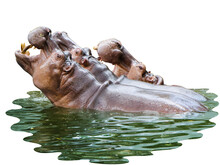 Hippo Families In The Water Is...