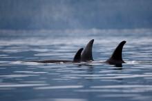 Orca Whale, Alaska
