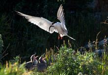Tern With A Fish In Its Beak In Flight. Adult Common Tern Feeding Chicks.   Scientific Name: Sterna Hirundo. Dark Background.