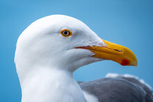 Close Up Portrait Of A Seagull...
