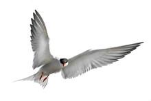 Adult Common Tern In Flight. I...
