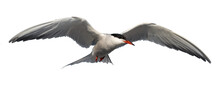 Adult Common Tern In Flight. I...