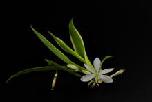 Mały, Biały Kwiat Na Czarnym...