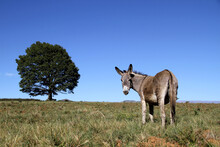 Landscape Photo Of A Donkey On A Hill. Blue Sky.  Tree. KwaZulu-Natal.