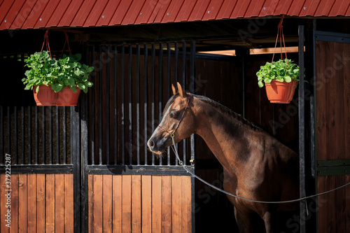 Foto The bay horse stands at the exit of the stall outdoors