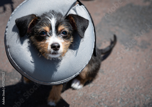 Puppy wearing an inflatable recovery veterinary collar Fototapet