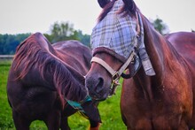 Close Up Of Two Horses Wearing...