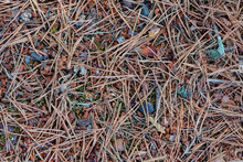 Pine Duff: Needles, Bud Caps And Pinecone Pieces On Rocky Ground, Contributes To Forest Fire Fuels