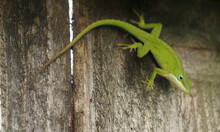 Curious Green Anole Lizard On ...