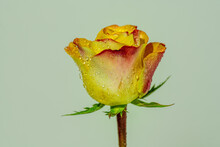 One Single Yellow And Red Rose...