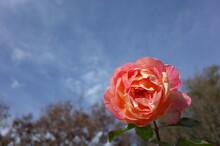 Yellow Blend Flower Of Rose 'R...