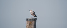 Seagull On A Log At A Port On ...