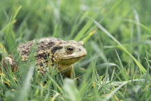 Common Toad Or European Toad R...