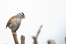 White Crowned Sparrow In Comical Perched Position