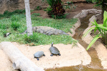 Turtles And Crocodile Sunbathing