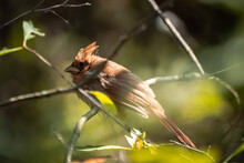 A Close Up Of A Beautiful Female Northern Cardinal Bird Sitting Perched On A Tree Branch With Green Foliage And Branches In The Background Bokeh.