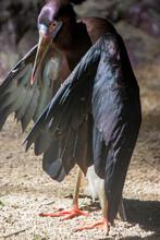 The Abdim's Stork (Ciconia Abd...