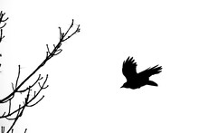 Flying Crow And Trees Branches...