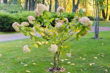 Bush Of Flowering Panicled Hyd...