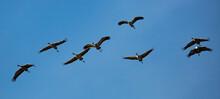 Migration Of Common Cranes (Gr...