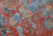 Colorful Lichen Growing On A Rock In Sunlight
