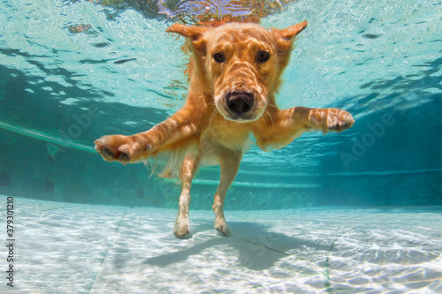 Foto Underwater funny photo of golden labrador retriever puppy in swimming pool play with fun - jump, dive deep down