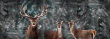 Wild Red Deer In A Fairytale Winter Forest. Banner Format. Winter Wonderland.