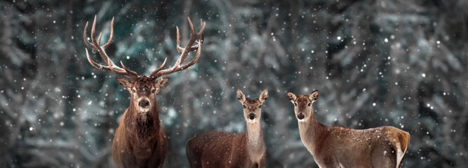 Wild red deer in a fairytale winter forest. Banner format. Winter wonderland.