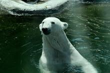 Polar Bear In Zoo, Summer Time