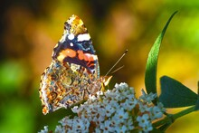 Red Admiral, Vanessa Atalanta, Sitting On White Flowering Summer Butterfly Bush, Wing Underside