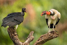 The King Vulture (Sarcoramphus...